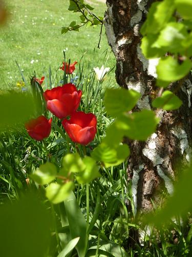 Trois tulipes sous l'arbre