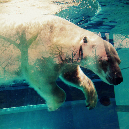 dance of the polar bear