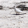 Not commonly seen, this Ringed Turtle-Dove seemed a bit out of place on the City Park Beach.