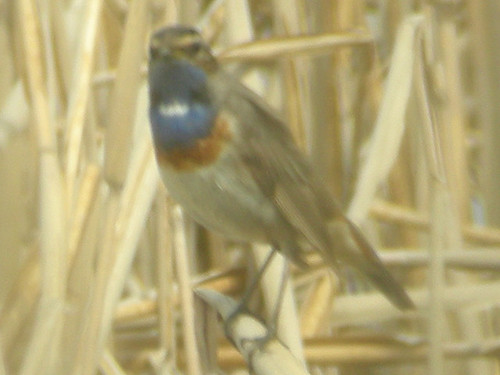 White-spotted Bluethroat, Welney (Norfolk), 24-Apr-10
