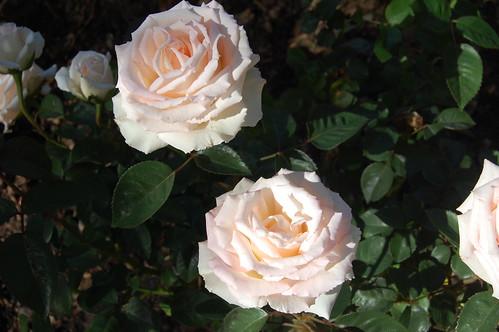 Roses - Hybrid Tea - Pink Promise