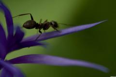 Fourmi sur la Centaure (Le No) Tags: 31 fourmi hautegaronne midipyrnes raynox250 stlon lauragais hymnoptre collectionnerlevivantautrement