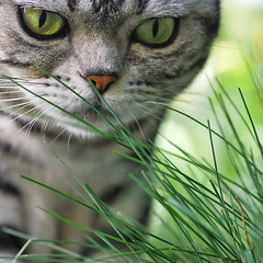 She's kind of focused (Sarah P) Tags: cats pets color macro nature grass animal animals cat nikon kitty chloe kitties 60mm d60 silvertabby tinynose americanshorthairsilvertabby vg~catsgallery sarahp