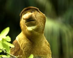 Proboscis monkey - Bako National Park - Sarawak - Malaysia (Lucie et Philippe) Tags: park wild strange nose monkey wildlife reserve national jungle sarawak borneo nez parc bako proboscis singe malaisie etrange nasique endmique