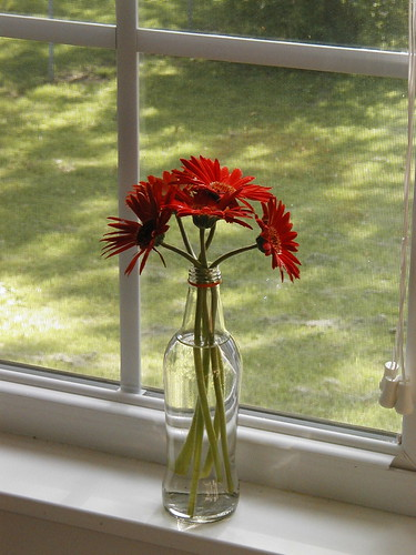Gerbera Daisy from the garden