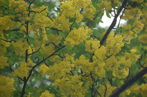 Arnold Arboretum, 18 May 2010: Yellow flowers blooming on a tree atop Bussey Hill