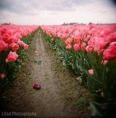Pink Tulip Field (J.Sod) Tags: pink film washington holga purple tulips toycamera 120format 120film washingtonstate holga120 skagitvalley skagitcounty purpletulip pinktulips tulipfields skagitcountytulipfestival