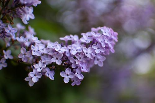 463:1000 Lilac bokeh