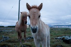 Folald og mamman (Haukur H.) Tags: red horse baby brown field grass iceland child small innocent pony garabr icelandic foal lftanes folald