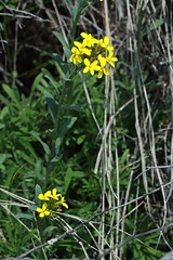 Alyssoides utricularia (Multi Flora) Tags: france alps flora botany brassicaceae alyssoides