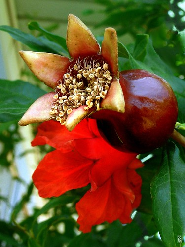 Pomegranate bloom and new fruit