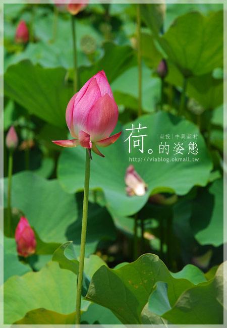 【2010賞荷】南投中興新村~荷花(蓮花)池準備盛放!2