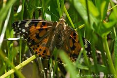 PAINTED LADY 3 (k.nanney) Tags: arlington butterfly insect texas tx d2x nikkor paintedlady texaswildlife vanessacardui tarrantcounty nikkor300mm nanney kennanney kennethnanney villagecreekdryingbeds