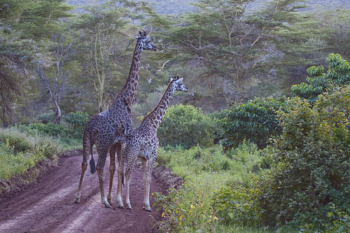 Giraffe - mother and calf.