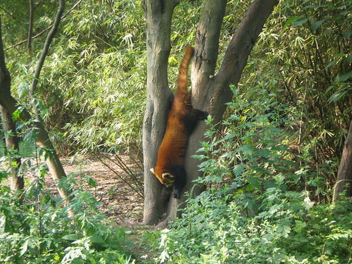Red pandas in the trees.