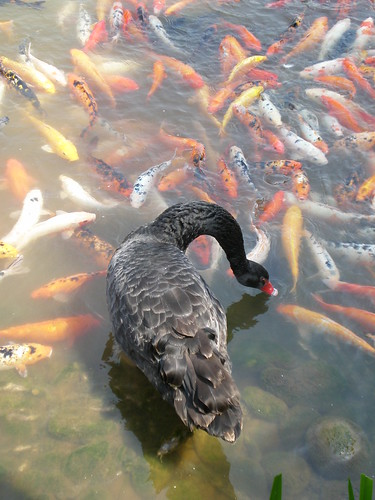 A black swan baits the fish and makes them jump!