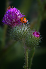Ladybug II (PeterFisken) Tags: flower nature ladybird ladybug marienkfer coccinellidae marihne