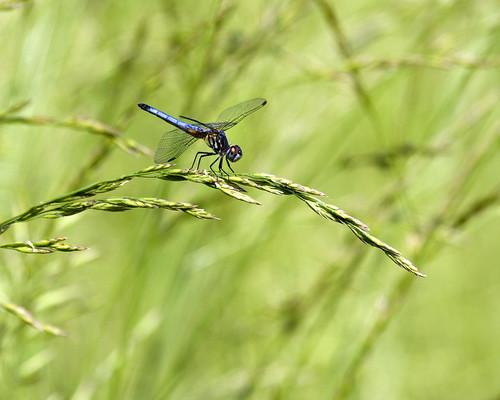 BlueDasherMaDragonflyEmiquonClarkRoad05312010JGWard_MG_1299