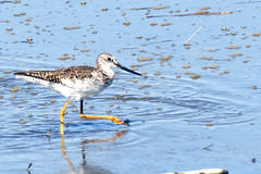 Lesser Yellowlegs Sandpiper 4 (edearmitt) Tags: bird nature animal animals photographer sony wetlands delaware alpha waterfowl bombayhook animaladdiction animaladdictionicon llovemypic naturesbeautiesflowersplantstreeslandscapesgardens