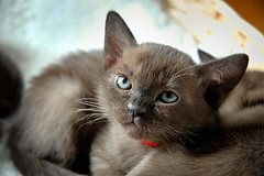 Geisha 771 (Dirigentens) Tags: portrait brown cat nikon kitten european sweden burma d70s geisha sverige 1001nights kattunge burmese brun gentle katt greatphotographers thegalaxy 100gold corins bestofcats 100commentgroup capturenx2 specialpetportraits bestofpetportraits 1001nightsmagiccity sdirigentens scorins greaterphotographers sunofgodphotographer greatestphotographers ultimatephotographers 100silver aboveandbeyondlevel1 rememberthatmomentlevel1 rememberthatmomentlevel2