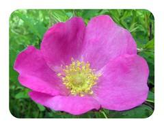 2010 Wild Rose Rounded Corners 002 (Chrisser) Tags: flowers roses ontario canada nature photoshop garden spring gardening fourseasons closeups rosaceae roundedcorners olympuscamediac765 ilroseto