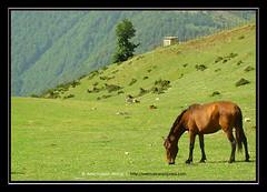 The Horse - Larzereh region (amirhosseinakbari) Tags: horse green grass iran grazing talesh   asalem khalkhal mywinners    websaz larzereh