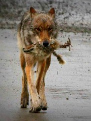 Wolf with Coyote Head (Rebecca Tifft) Tags: coyote alaska skull wolf wildlife predator denali denalinationalpark