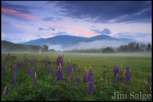 Presidential Lupines