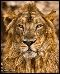 The Old King (bnilesh) Tags: portrait lion flickrbigcats