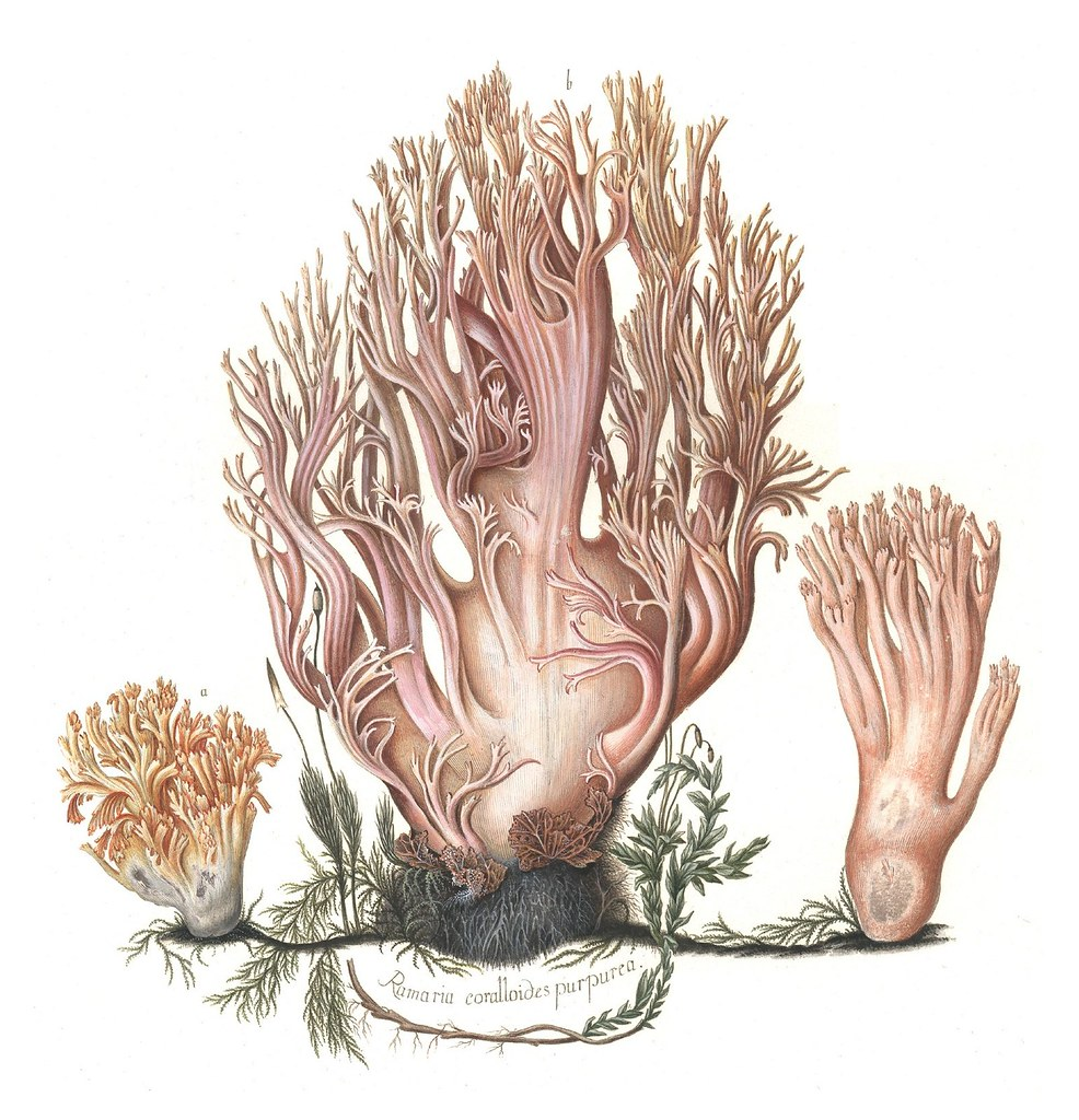 Ramaria coralloides purpurea