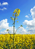 Rapeseed Flower (Fazer44) Tags: blue cambridge sky white field yellow clouds canon day cloudy rapeseed huntingdon godmanchester eos50d