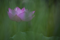 Dream World (Claire Chao) Tags: pink flower green flora lotus blossom greenleaf   canoneos5dmarkii ntuankangfarm