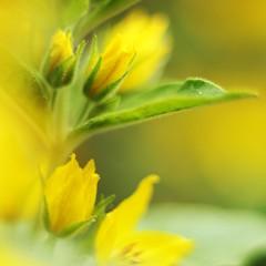 blur (Cosimo Matteini) Tags: blur flower yellow closeup pen 50mm olympus zuiko epl1 cosimomatteini