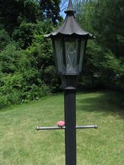 Pink Perching Pigeon
