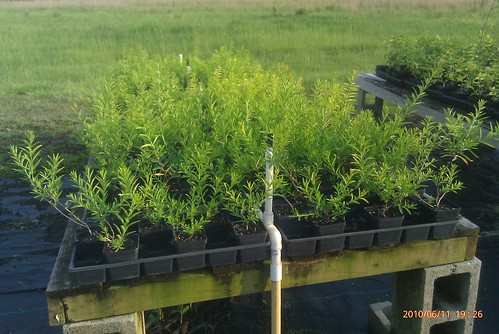 heimia salicifolia pflanzen