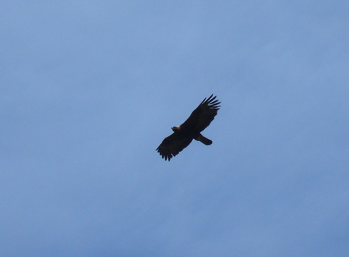 21681 - Golden Eagle on Mull