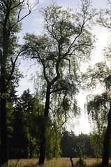 Trauerweide (Salix x pendulina), Lingen, Baccumer Wald (Chironius) Tags: lingen germany deutschland niedersachsen allemagne alemania germania германия salix weide trauerweide willow weepingwillow wald baum bäume tree trees arbre дерево árbol arbres деревья árboles albero emsland osier marsault saule sauce salice salcio ива söğüt wilg árvore ağaç boom träd baccumerwald baccumerforst lingenerhöhe rosids fabids malpighienartige malpighiales weidengewächse salicaceae weiden и́ва forest forêt лес bosque skov las