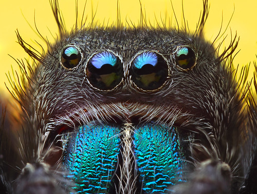 jumping spider -- Phidippus sp by bugeyed_G