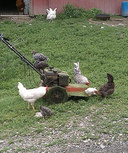 Chickens enjoy the mower