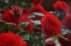 Meilland Rose (bormanus_sv) Tags: red redrose rosso sarmentosa climbingroses rampicanti rosaio sormontanti rosesarmentose