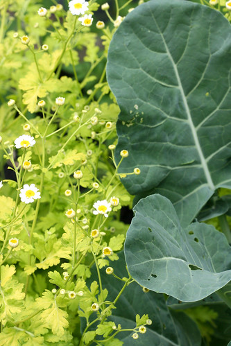 broccoli and feverfew