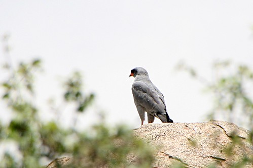 EasternChantingGoshawk