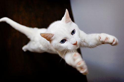 cute white rescued cat flying superman