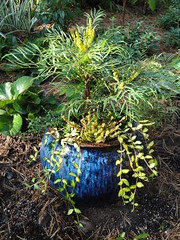 Mahonia in Ceramic Blue Container