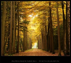 walk into the autumn cathedral (Zino2009 (bob van den berg)) Tags: autumn oktober fall nature yellow forest walking photography woods cathedral herfst natuur bob special bos geel impressive finest jogger goed goud goldenlight joggen lariks flickrsbest idream mywinners flickrdiamond platinumheartawa