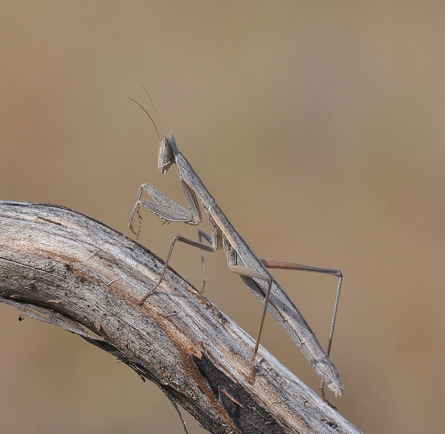 A Ground Mantis