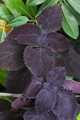 Coleus 'Dark Star'