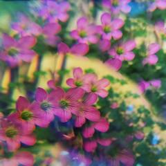 many more to come (meeeeeeeeeel) Tags: experimental surreal natureza nature jardim garden squareformat iphone iphoneography hipstamatic multiply distortion refraction reflexos reflections prism opticaleffects optics glassfilter beadfilter filter floresrosas trevo pinkoxalis pinkflowers corderosa rosa pink oxalis