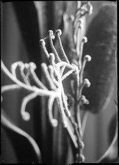 unscharf (salparadise666) Tags: voigtländer bergheil 9x12 heliar 135mm fomapan 100 caffenol rs 14min nils volkmer vintage camera plate sheet film analogue cut detail bw black white monochrome plant large format macro dof bokeh