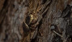 Simaethula sp. (dustaway) Tags: arthropoda arachnida araneae araneomorphae salticidae simaethula jumpingspider australianspiders tallowwood spideronbark tullera northernrivers nsw nature australia natur spinne araignee